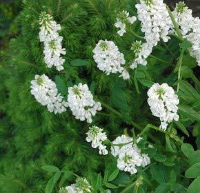 weiße Geißraute - Galega hartlandii