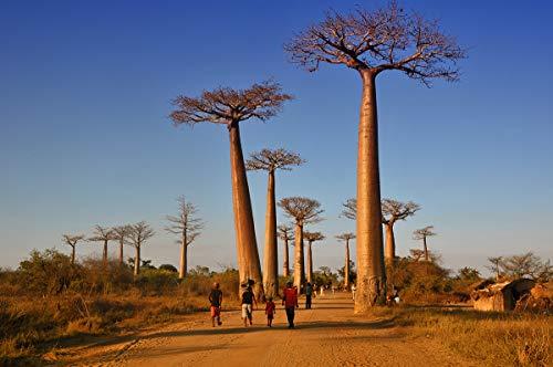 2pcs importées véritables graines de baobab Adansonia digitata Graines arbre géant Graines jardin Bonsai usine de bricolage