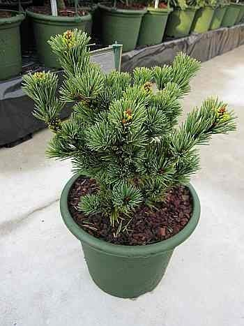 Pinus parviflora Gyokkasen - Japanische Mädchenkiefer - 25-30