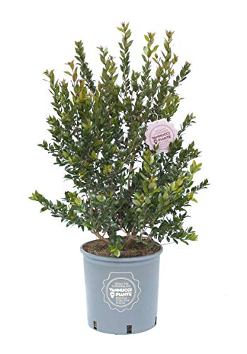 Myrtus communis, Mirto comune, Pianta vera in vaso, Cespuglio, Pianta da siepe, Pianta da terrazzo