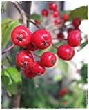 Aronia Arbutifolia 'Brilliant' - Planta de Aronia con bayas rojas en maceta, diámetro 17 cm, altura 70/80 cm
