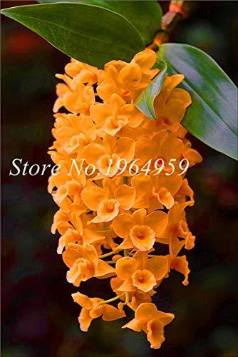 Shopmeeko Graines: Bonsai Multi-couleur de la fleur d'orchidée Fleurs 100 Pcs Potted/Mixed Bag Cymbidium Faberi Balcon Plante en pot pour jardin: 8