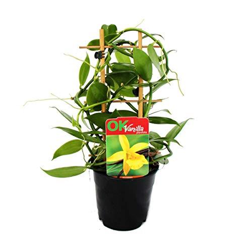 Exotenherz - Vanilla planifolia - Kletterorchidee - Echte Vanille Pflanze am Spalier 11cm Topf