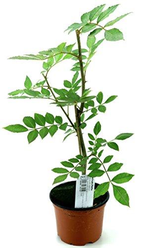 Szechuan Pfeffer Pflanze, aus Nachhaltigem Anbau!
