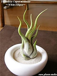 エアープランツチランジア・カプトメドゥーサ / ホワイトイリプス / AirPlants Tillandsia・Caput-medusae / White Ellipse / インテリアグリーン / ミニ観葉植物
