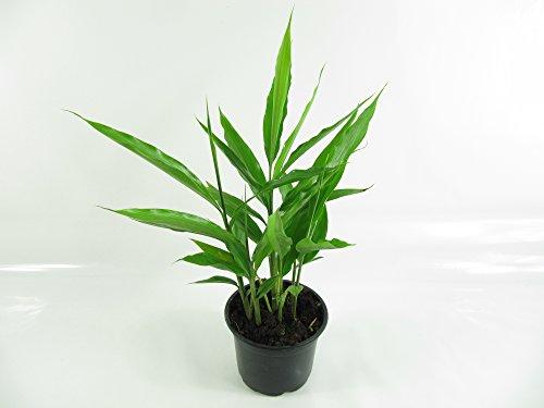 Thai-Ingwer, großer Galgant (Alpinia galanga)
