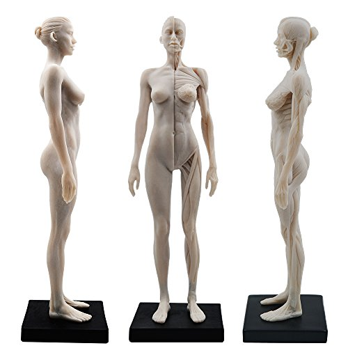 11inch Resin Female Human Body Musculoskeletal Anatomical Model CG...