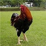 国産 徳島県産 阿波尾鶏 中抜き丸鶏 1羽分 約3kg 冷蔵品