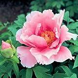 Strauch-Pfingstrose Baumpfingstrose rosa Wolke 10 Samen