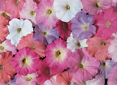 50 Petunia Celebrity Mix Granulé Morn Graines MELANGE