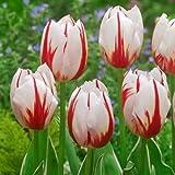 BULBi Bulbes de Tulipes HAPPY GENARATION - Blanc&Rouge | 25x Bulbes | Les Triomphe Tulipes ont une croissance forte, des tiges robustes et fleurs classiques avec une longue floraison.