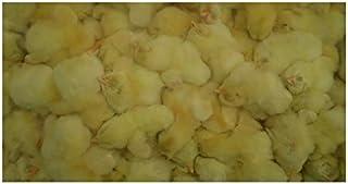 フクロウ・タカ・ハヤブサ等の餌 冷凍ヒヨコ150羽入り