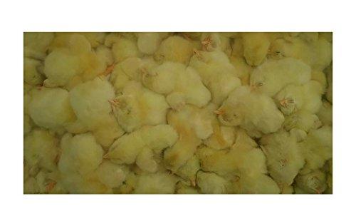 フクロウ・タカ・ハヤブサ等の餌 冷凍ヒヨコ60羽入り
