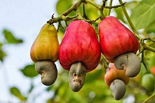 BloomGreen Co. Garden Combo arbre Graines: Sea-amandes, graines de noix de cajou, fruits de la passion - Jaune, Fruit de la passion - Fruit Violet pour le jardinage