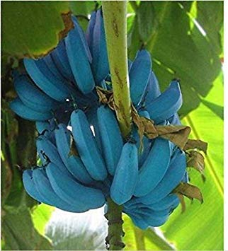 Potseed Germinación Las Semillas: Las Semillas de plátano 100 Unidades Blue Banana deliciosas Rare Fruit Musa Azul de Java