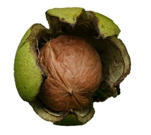 Black Walnut Tree 18' - 24' Healthy Bare...