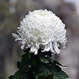 100 Stück Seltene Blume Samen Weiße Chrysantheme Samen Die Transparente Und Schöne Farbe Ist Der Einzigartigste Anblick Im Garten. Es Ist Leicht Zu Kultivieren Und Hat Eine Hohe Keimrate