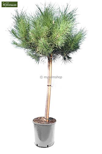 Pinie - Pinus Pinea - Gesamthöhe 140-160 cm - Stamm 80-100 cm - Ø 32 cm Topf