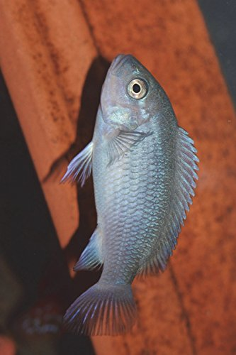 Maylandia Callainos Cobalt African Cichlid Journal: Take Notes, Write Down Memories in this 150 Page Lined Journal