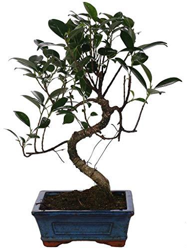 """Bonsai Ficus (""""S"""" SHAPE) vaso ceramica diametro 15 cm."""