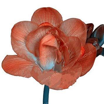 vonly 2 Stück Farbmisch Freesie Birnen Topfblumen Topfpflanze Roots Zwiebeln, Zimmerpflanze, Natur Wachstum: 7