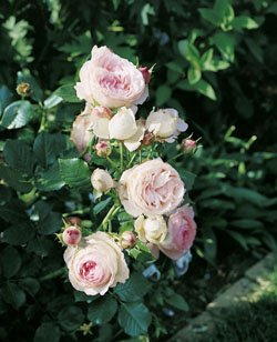 Strauchrose 'Eden Rose '85' -R- A-Qualität Wurzelware