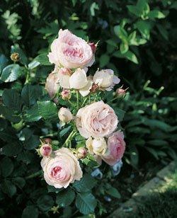 'Eden Rose '85' -R-, Strauchrose im 4 L...