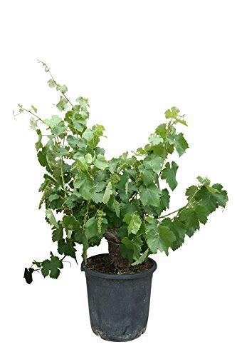 Weinrebe, vitis vinifera, alte knorrige Weinrebe, 140 cm, Stammumfang 25/35 cm