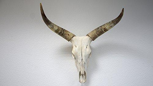 bokke bovins crâne Cornes Naturel, Corne Naturelle, Largeur 60–100cm Hauteur 80–90cm, 80x 60cm