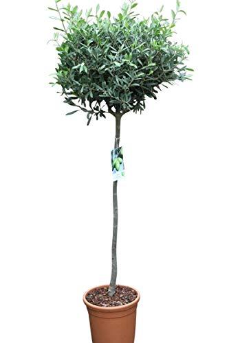 Olivenbaum - Halbstamm - Gut angewachsene Pflanzen. Tragen dieses Jahr Oliven.