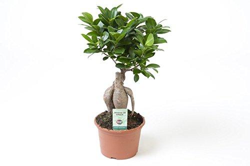 Ficus Ginseng, Ginseng Bonsai, (Ficus microcarpa), asiatischer Bonsai, verschiedene Größen (im 15cm Topf, ca. 35cm hoch)