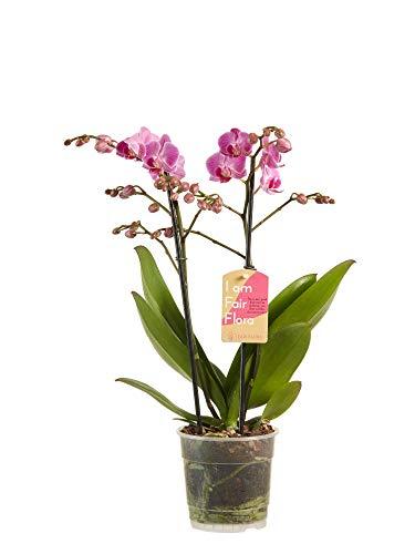 Orchidee von Botanicly – Schmetterlingsorchidee lila – Höhe: 50 cm, 2 Triebe, weiße Blüten – Phalaenopsis multiflora
