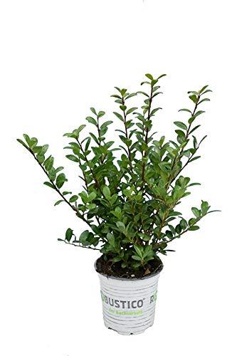 Buchsbaum - Der Buchsersatz - Ilex crenata Robustico - Gesamthöhe 20-30 cm im 0,5 Ltr. Topf (10)