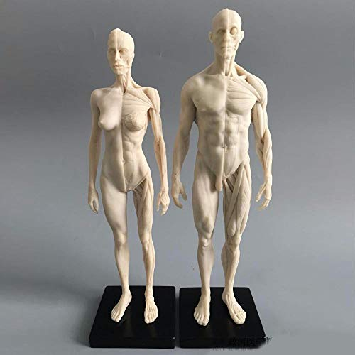 11inch Human Anatomical Model Art...