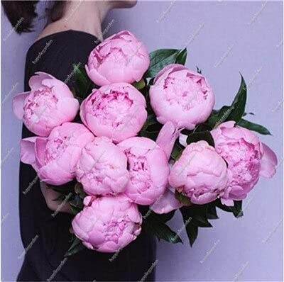 10 pcs Chinese Peony Tree Seed Plant for Balcony Garden Flowers, Exotic Paeonia suffruticosa Wedding Decoration - (Color: 1)