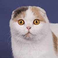 5D ダイアモンド絵画 アート キット 刺繍キット クロスステッチキット スコティッシュフォールド猫 DIY 芸術品 壁アート 手芸 製作キット 壁の装飾 ホーム装飾 誕生日プレゼント