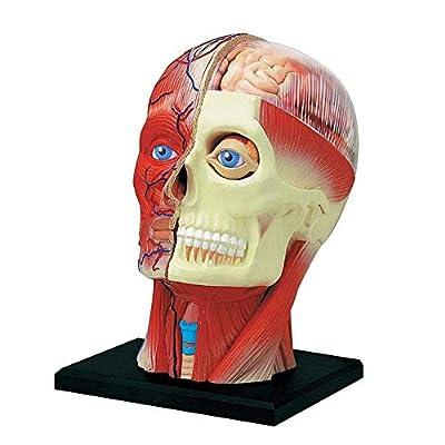 LIWEISDSDFS 4D Human Head Skull Brain Anatomy Anatomical Model Medical Science Lab School from LIWEISDSDFS