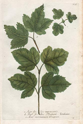 a. Acer foliis verrucosis. b. Acer...
