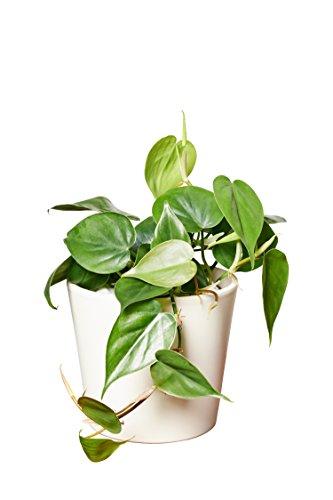 EVRGREEN | Zimmerpflanze Baumfreund in Hydrokultur mit cemefarbenem Topf als Set | Philodendron scandens