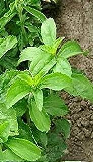 ハーブ - ステビア - 40個の種子