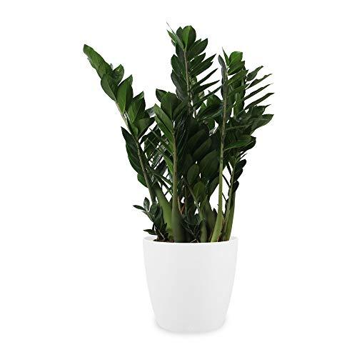 Pianta d'appartamento da Botanicly – Zamioculcas in vaso bianco come set – Altezza: 80 cm