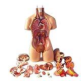 XHLLX Modelo de anatomía Cuerpo Humano, Modelo de ensamblaje anatómico 4D de órganos Humanos para la enseñanza de la educación.