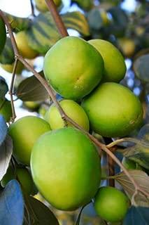 10 JUJUBE CHINESE DATE ZIZIPHUS JUJUBE TREE SEED NATIVE THAI FRUIT EDIBLE FRESH