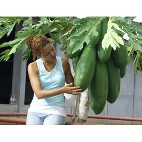 Carica Papaya Blueberry Anthocyanin Super Sweet Big Papaya Fruit Seeds Non-GMO Potted Bonsai Fruit Tree Seeds 50 Seeds/Pack