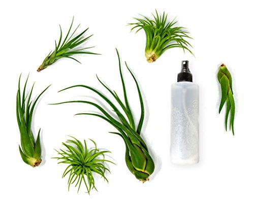 6 Air Plant Variety Pack | Large Tillandsia Terrarium Kit with Spray Bottle Mister for Water Fertilizer | Live Indoor Houseplants by Plants for Pets