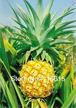 SANHOC Samen-Paket: HOO Produkte - Ananas comosus - Pine 20 Samen Erbstück Obstgarten Samen, DIY Bonsai Seed Plüsch Mysterious Geschenk Loss Förderung!