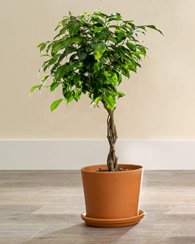 PlantVine Ficus benjamina 'Wintergreen', Weeping Fig - Large (4-4.5ft), Braided - 8-10 Inch Pot (3 Gallon), Live Indoor Plant