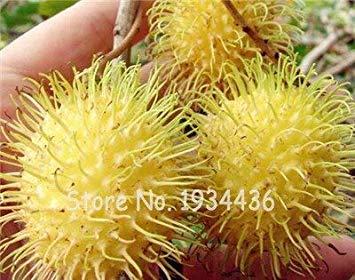 Shopvise Heirloom 50Pcs Multi Color ramboutan Malaisie Miracle Fruit Delicious Seeds pour jardin Facile Graines Ing Graines Comme Litchi: Q7