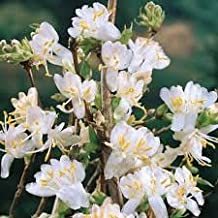 Pixies Gardens (3 Gallon) Fragrant Winter Honeysuckle - Extremely Fragrant White Flowers in Spring (Lemony)