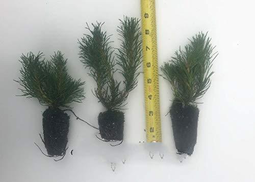 3 Japanese Black Pine, 4'- 6' Tall Seedlings Great Bonsai or Shade Tree LivePlant